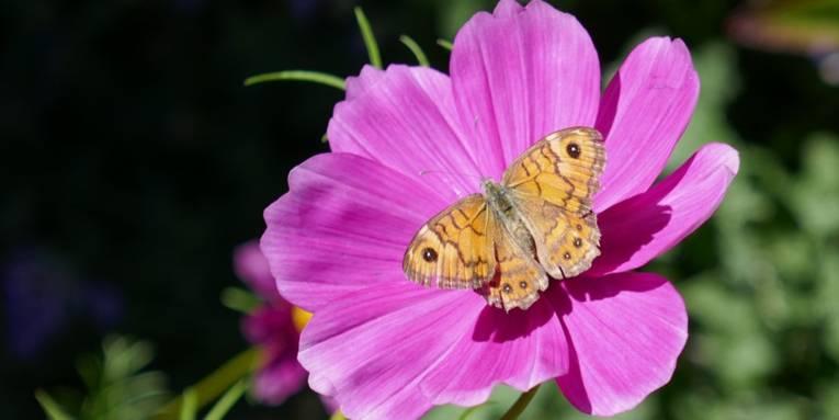 Schmetterling auf einer dunkelrosafarbigen Blüte