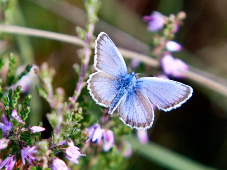 Blauer Schmetterling, der über Heidekraut schwebt