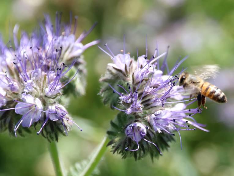 Honigbiene beim Nektarsammeln auf einem Blütenstempel.