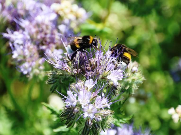Hummeln fliegen Blüten zur Nahrungssuche an.