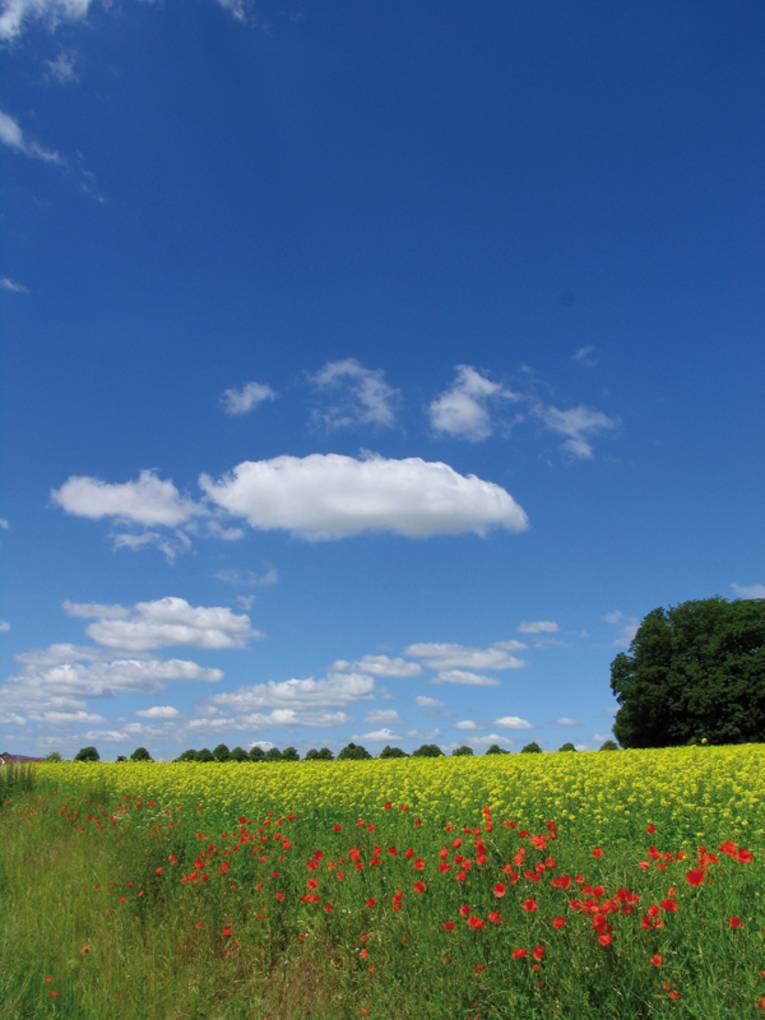Rapsfeld mit Knickbewachsung aus Klatschmohn an einem sonnigen Tag