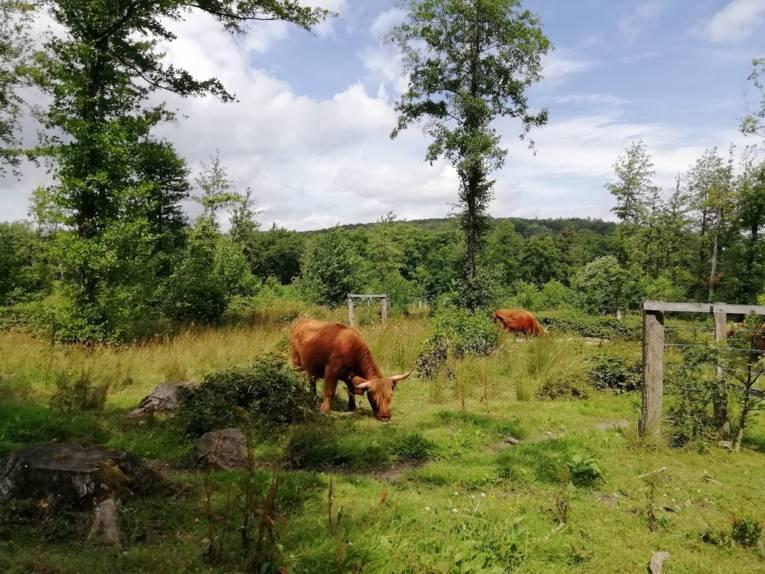 Rötliche Rinder in einem Waldgebiet