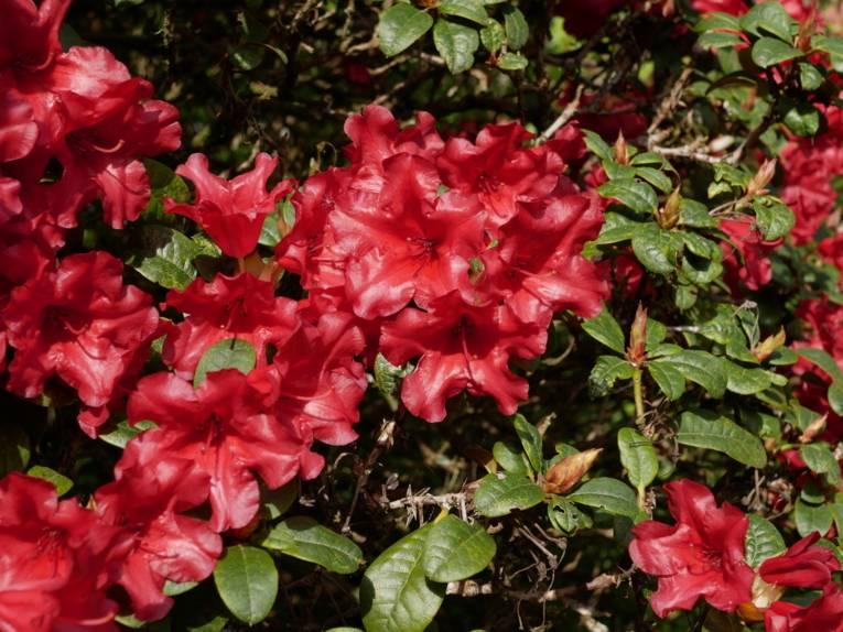 Rote Rhododendronblüten