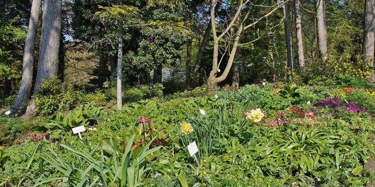 Blühende Primeln, Bergenien und Narzissen im Schulgarten Linden.