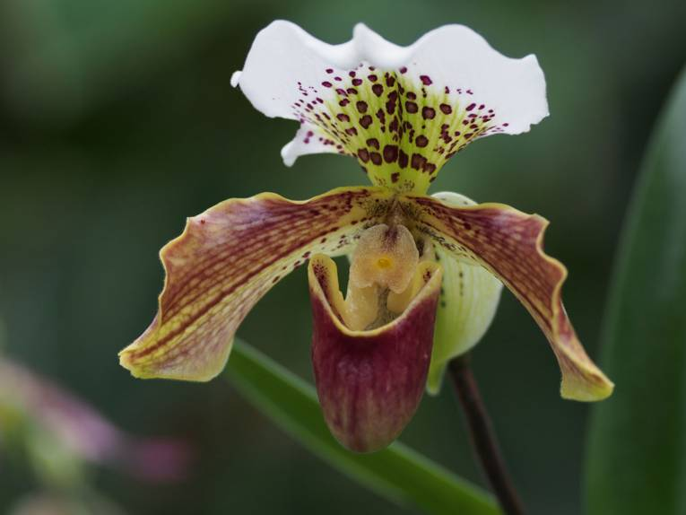 Paphiopedilum 'Chants Temple'