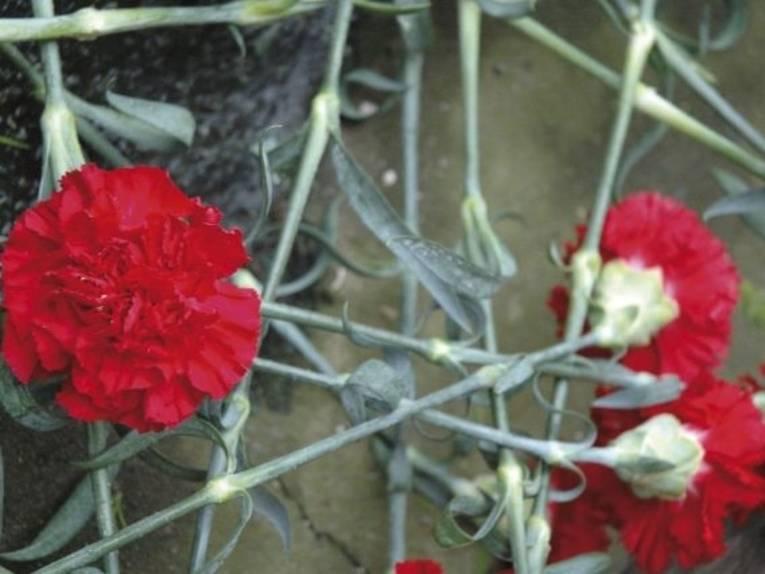 Zu sehen sind rote Nelken