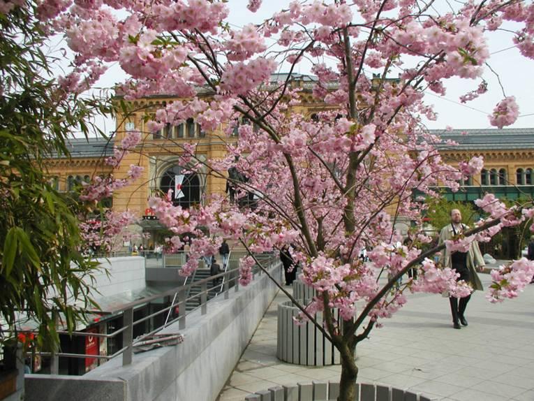Blick von der Bahnhofstraße auf den Hauptbahnhof Hannover, im Vordergrund ein Blumenkübel mit einer Zierkirsche, die rosa blüht