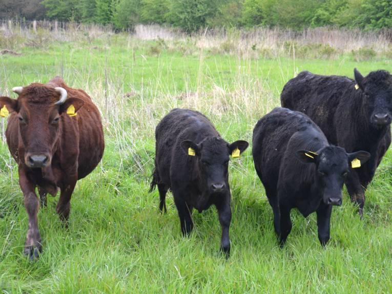 Die Galloways auf der Weide