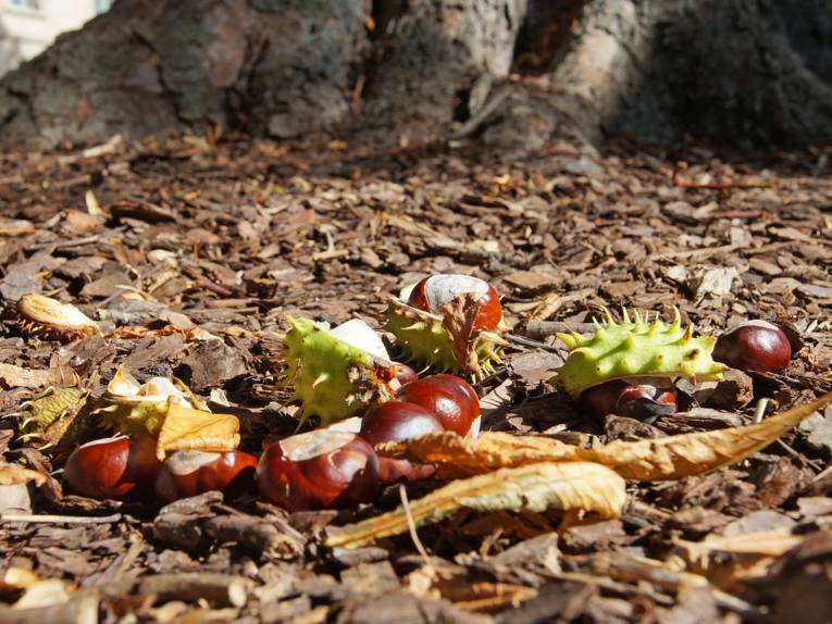 Kastanien auf dem Boden in der Nähe eines Baums