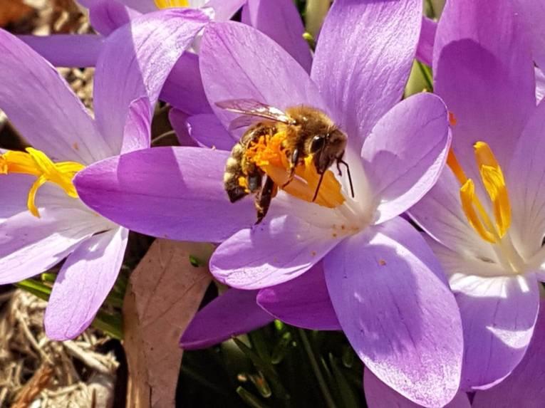 Biene an einer Blüte.