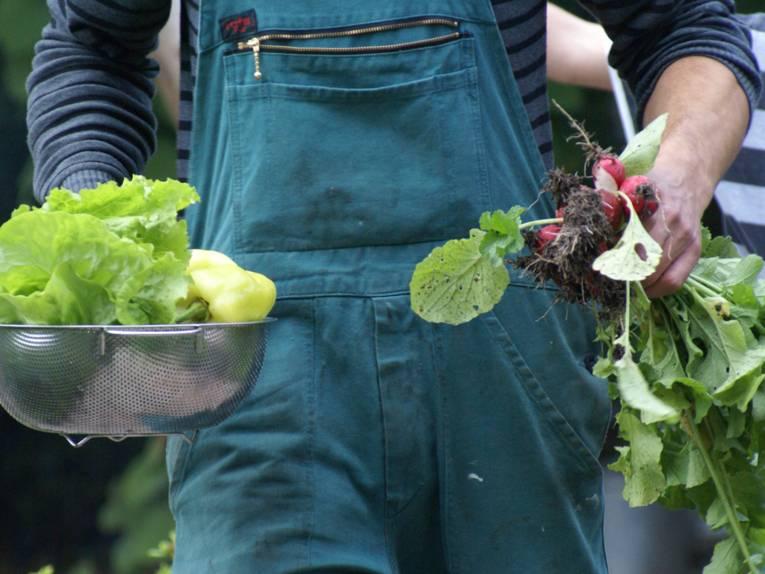 Frisch geernteter Salat