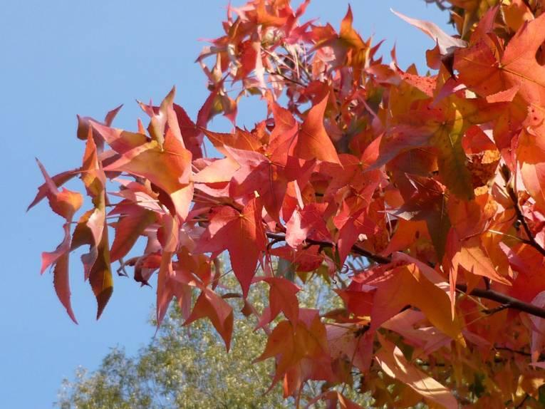 Rot gefärbte Blätter vor blauem Himmel