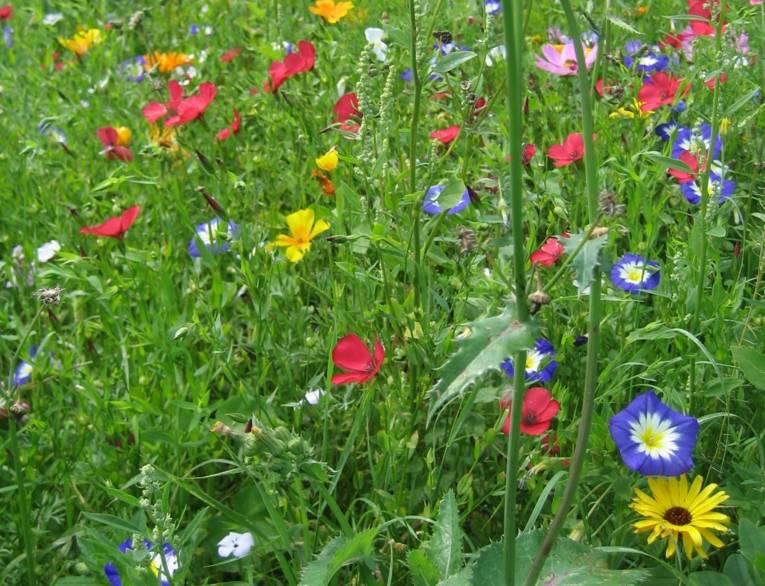 Blumenwiese mit verschiedenen Wildblumen