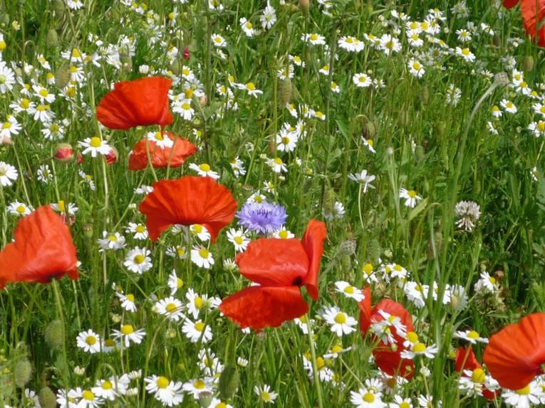 Mohnblumen, Kamille und andere Wildkräuter