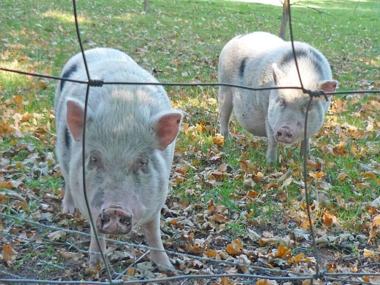Zwei Schweine in einem Freigehege