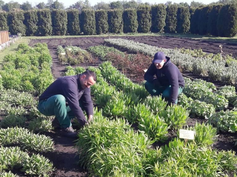 Zwei Gärtner in einem Beet.