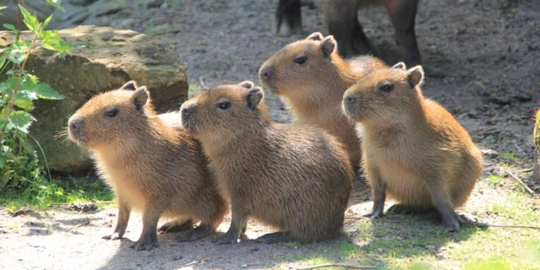 Vier kleine Wasserschweinchen.