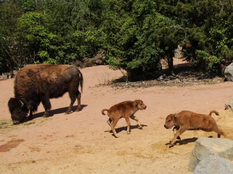Zwei kleine Waldbisons mit ihrer Mutter.