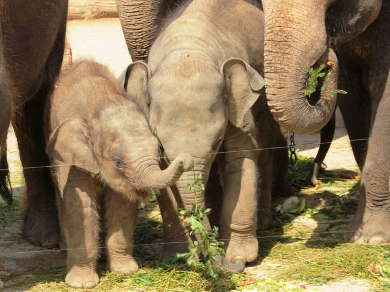 Große und kleine Elefanten beim Fressen.