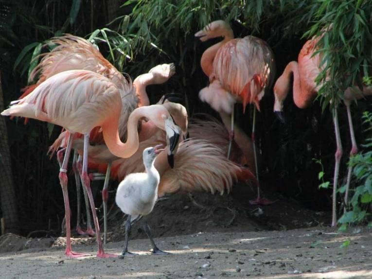 Ein kleiner Flamingo wird von seiner Mutter gefüttert.