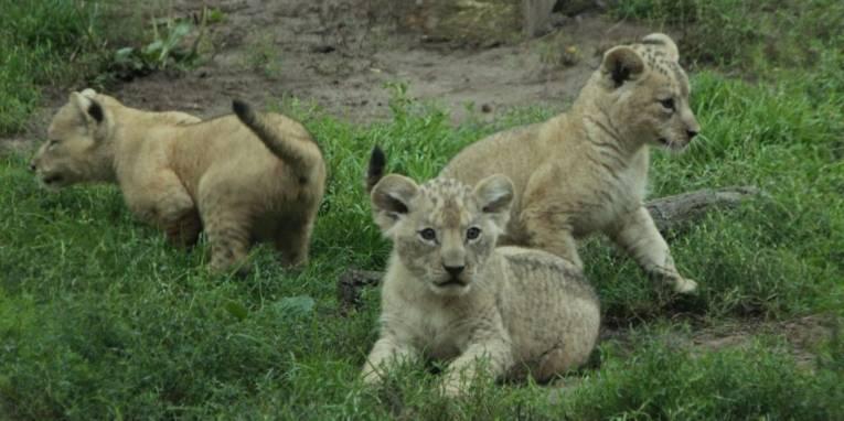 Drei kleine Berberlöwen im Gras.