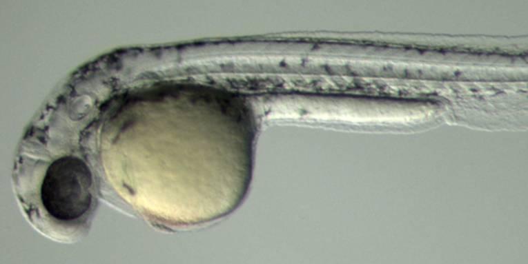 Fischlarve