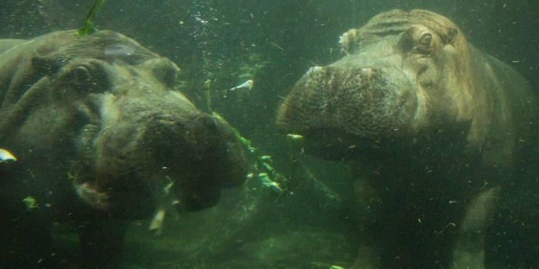 Zwei Flusspferde unter Wasser.