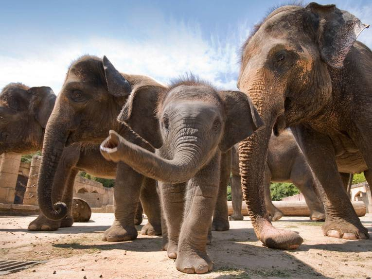 Fünf Elefanten.