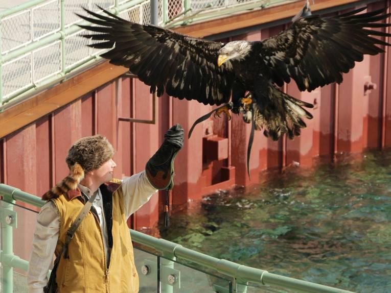 Adler im Sturzflug.
