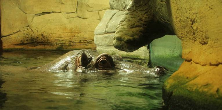Flusspferd im Wasser.