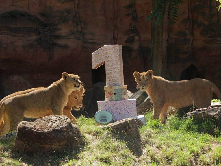 Drei Löwen mit Kartons.