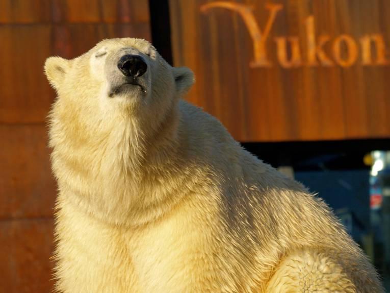 Eisbär in der Abendsonne.
