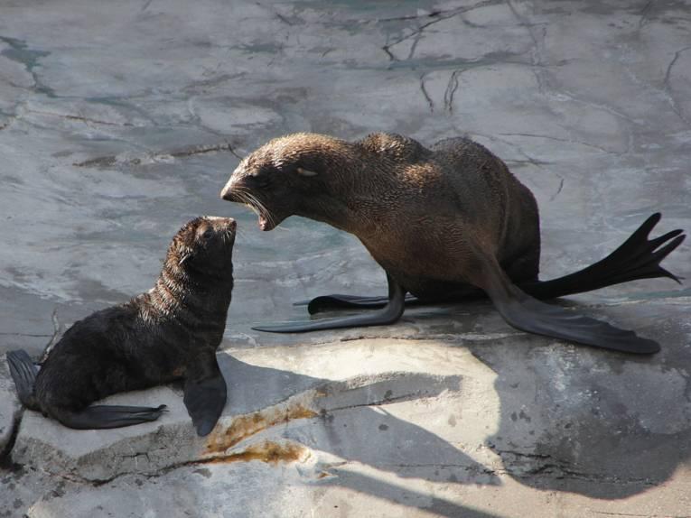 Seebären-Mutter mit Jungtier.