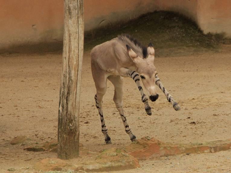 Ein junges Esel-Fohlen.