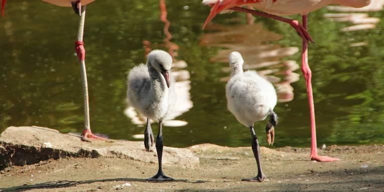 Zwei kleine Flamingos auf einem Bein.