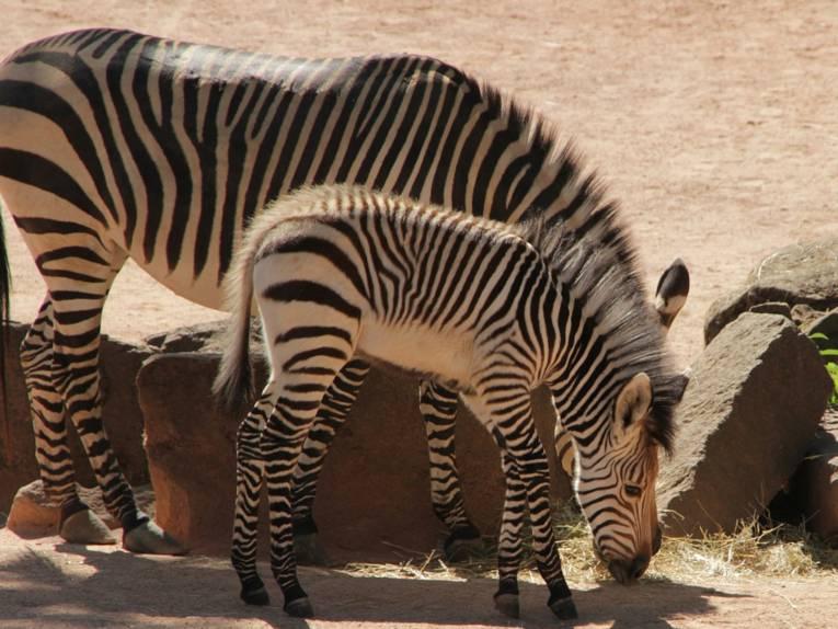 Zebra mit Jungtier.