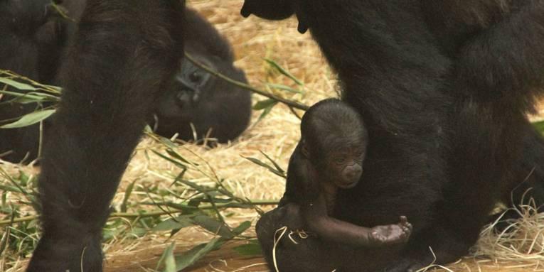 Ein kleines Gorillababy hält seine Hand nach vorne.