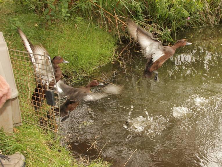 Moorenten im Wasser.