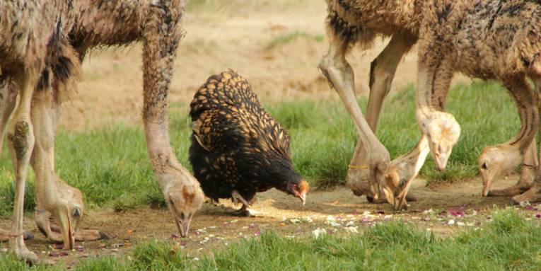 Zwei junge Strauße und ein Huhn.