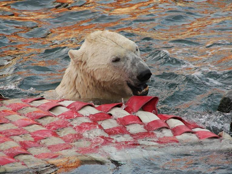 Eisbär im Wasser.