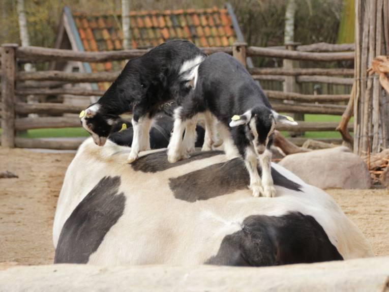 Zwei Ziegen auf einer Kuh.