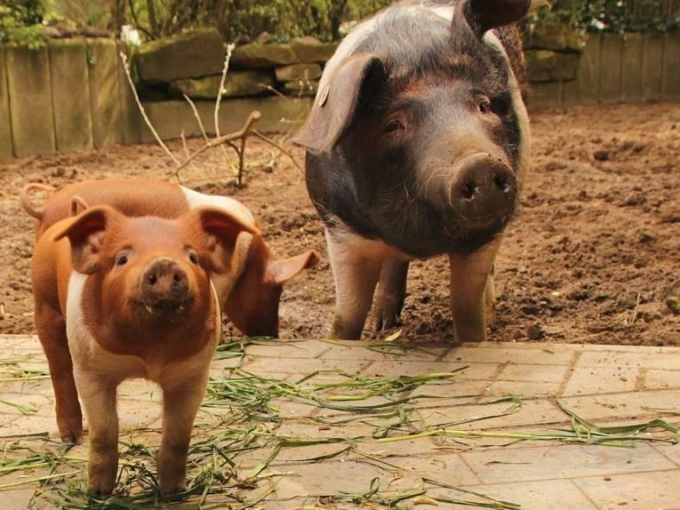 Schweinemutter mit Nachwuchs.
