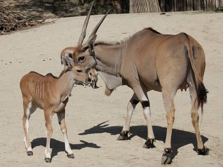 Eine Elenantilope mit ihrem Nachwuchs.