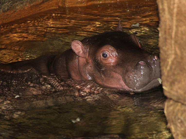 Junges Flusspferd im Wasser.