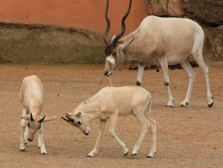Zwei Addax-Jungtiere beim Spielen. Im Hintergrund ein Muttertier.