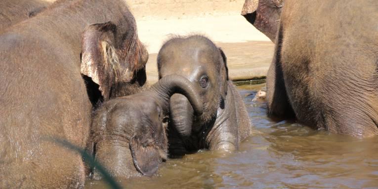 Mehrere Elefanten im Wasser.