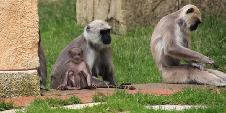 Kleines Affenmädchen zwischen größeren Artgenossen.