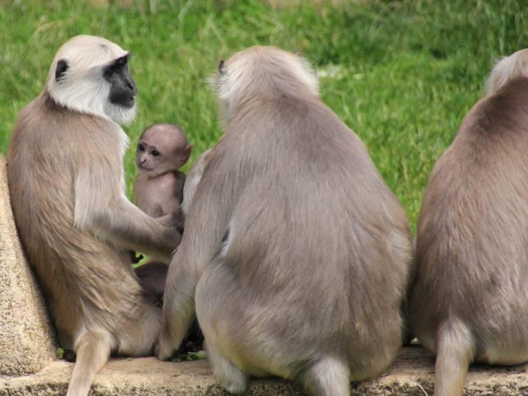 Drei ausgewachsene Affen mit ihrem Jungtier.