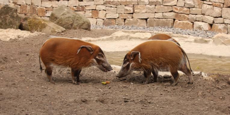 Zwei Schweine vor einer Mauer.