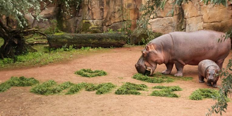 Flusspferdmutter mit ihrem Nachwuchs. Gemeinsam erkunden sie den aus Salat gelegten Namen Pumeza.